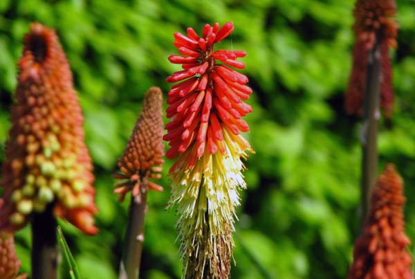 Kniphofia uvaria 270 seeds TORCH LILY RED HOT POKER PERENNIAL FLOWER#870